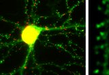 Fig. 1 (A) Live neuron in dissociated culture expressing intrabodies against PSD95 (green) and Gephyrin (red), which provide a real time map of synaptic inputs. PSD95 intrabody in dendrite of pyramidal cell in slice culture (B) or in dendrite of pyramidal cell in 45 day old mouse (C) that had been in utero electroporated.