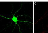 Fig. 2 (A) Schematic of ablating intrabody. (B) Neuron transfected with Gephyrin Intrabody-FRB and FKBP-E3 ligase domain. (C, D) 5 hours after addition of IRAP virtually 100% of endogenous Gephyrin is eliminated. Note that most, if not all, visible puncta in (C) and (D) are from untransfected cells.