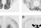 In situ hybridization autoradiograms in the developing rabbit brain